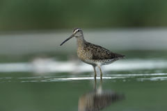 Short-billed dowitcher, Limnodromus griseus. In water in New York, USA, summer Royalty Free Stock Image