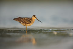 Short-billed dowitcher, Limnodromus griseus Stock Photos