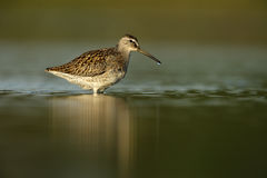 Short-billed dowitcher, Limnodromus griseus. In water in New York, USA, summer Stock Image