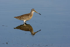 Short-billed dowitcher, Limnodromus griseus. In water in New York, USA, summer Royalty Free Stock Photo