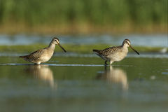 Short-billed dowitcher, Limnodromus griseus. In water in New York, USA, summer Stock Photography