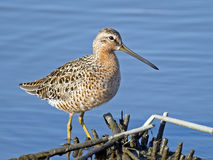Short-billed Dowitcher. Preening  in the Marsh Royalty Free Stock Images