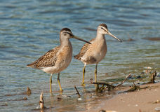 Short-billed Dowitcher Stock Photos
