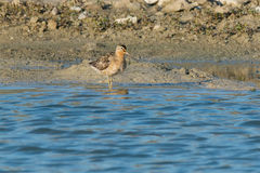 Short-billed Dowitcher. Wading in the shallow water Royalty Free Stock Image