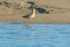 Short-billed Dowitcher. Wading in the shallow water Stock Photography