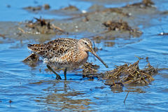 Short-billed Dowitcher. Walking in the Marsh Royalty Free Stock Image