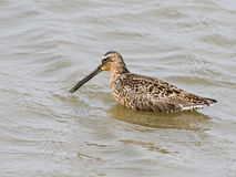 Short-billed Dowitcher Royalty Free Stock Photography