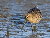 Short-billed Dowitcher. Walking in the Marsh Stock Image