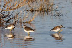 Short-billed dowitchers in pond stock photo