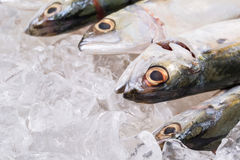 Short Bodied Mackerel On Ice I Stock Photography