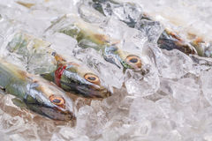 Short Bodied Mackerel On Ice II Stock Images