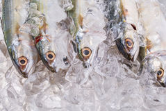 Short Bodied Mackerel On Ice III Stock Photos
