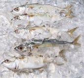 Short Bodied Mackerel On Ice IV Royalty Free Stock Photos