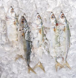 Short Bodied Mackerel On Ice V Stock Photo