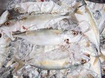 Short Bodied Mackerel On Ice VI. Fresh short-bodied mackerel preserved on ice cubes Stock Image