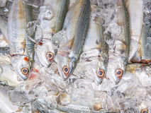 Short Bodied Mackerel On Ice VI Royalty Free Stock Image