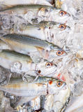 Short Bodied Mackerel On Ice VII Royalty Free Stock Images