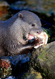 Short Clawed Asian Otter Royalty Free Stock Images