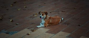 Short-coat White And Brown Dog Laying On Parquet Floor Stock Photography