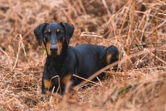Short-coated Black and Brown Dog on Brown Grass Field Royalty Free Stock Photography