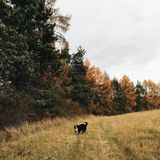Short-coated Black and White Dog Standing in Forest Royalty Free Stock Image