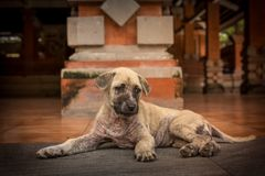 Short-coated Brindle Puppy Lying on Floor Stock Images