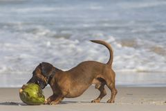 Short-coated Brown Dog Beside Coconut Shell Royalty Free Stock Image