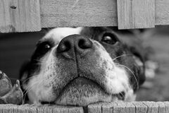Short Coated Dog Between Wooden Boards Stock Photo