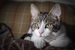 Short-coated Gray and White Tabby Kitten Royalty Free Stock Photos