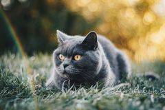 Short-coated Grey Cat Lying On Green Grass Field royalty free stock image