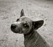 Short Coated Puppy Grayscale Photo Stock Photos