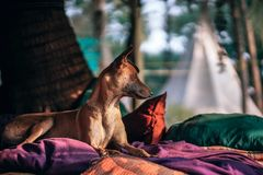 Short-coated Tan Dog Prone Lying on Bed at Daytime Royalty Free Stock Photo