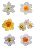 Short cup daffodil isolated Stock Images