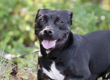 Short Dachshund Bulldog mixed breed dog royalty free stock photos