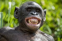 At a short distance close up portrait of Bonobo with smile. The Bonobo ( Pan paniscus), Stock Photography