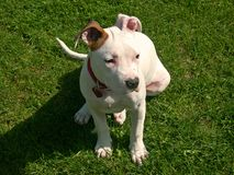Short Dog royalty free stock photography
