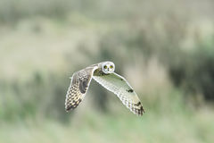 Short ear owl (asio flammeus) in flight Stock Photography