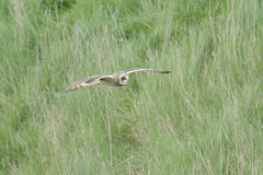 Short ear owl (asio flammeus) in flight Stock Photos