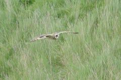 Short ear owl (asio flammeus) in flight Stock Photos