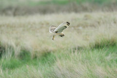 Short ear owl (asio flammeus) hunting Stock Photography