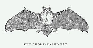 The short-eared bat spreading its wings in frontal view. The short-eared bat myotis ikonnikovi spreading its wings in frontal view. After a vintage woodcut Stock Photography