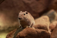 Short-eared elephant shrew Royalty Free Stock Photo