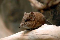 Short-eared elephant shrew. (Macroscelides proboscideus royalty free stock images