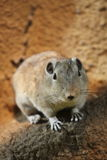 Short-eared elephant shrew Royalty Free Stock Images