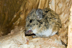 Short-eared Elephant Shrew Stock Photos