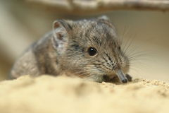 Short-eared elephant Shrew Royalty Free Stock Image