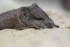 Short-eared elephant shrew Royalty Free Stock Photos