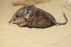 Short-eared elephant shrew. Lying on the sand Royalty Free Stock Images
