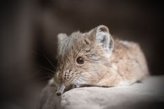 Short-eared elephant shrew (Macroscelides proboscideus) Royalty Free Stock Images