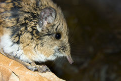 Short-eared Elephant Shrew portrait. Short-eared Elephant Shrew (Macroscelides proboscideus royalty free stock photos